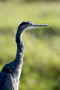Herodias Photo Framed Prints - Great Blue Heron backlit Framed Print by Sharon  Talson