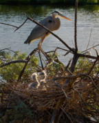 Caretaker. Posters - Great Blue Heron Bird And Nest Poster by Crystal Garner