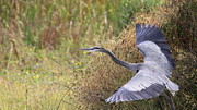 Male Framed Prints Photos - Great Blue Heron - Blue Angel by Travis Truelove