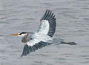 Great Blue Heron Print by Bryana  Joy