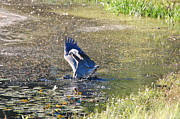 Great Blue Heron Photos - Great Blue Heron Catches Bass by Mary McAvoy