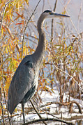Watson Lake Photos - Great Blue Heron closeup 1 by Steven Love