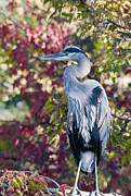 Great Pyrography Metal Prints - Great Blue Heron Metal Print by David Martorelli