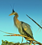 Heron Portrait Posters - Great Blue Heron Extreme Poster by Gus McCrea
