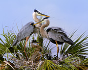 Gbh Posters - Great Blue Heron Family Poster by Mike Fitzgerald