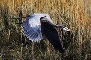 Great Blue Heron Flying In The Marsh Print by Thomas Photography  Thomas