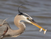 Catch Framed Prints - Great Blue Heron Gets TwoFer Framed Print by Robert Frederick