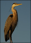 Pictures Photo Originals - Great Blue Heron in Early Light by John Wright