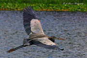 Circle B Bar Posters - Great Blue Heron in flight Poster by Barbara Bowen