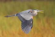 Herons Metal Prints - Great Blue Heron In Flight Metal Print by Bruce J Robinson