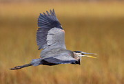 Great Birds Posters - Great Blue Heron In Flight III Poster by Bruce J Robinson