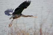 Great Blue Heron In Flight Print by Nick Gustafson