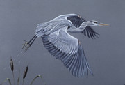 Flight Pastels Posters - Great Blue Heron in Flight Poster by Patricia Ivy