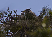 Great Blue Heron Photos - Great Blue Heron in Nest by Roger Wedegis