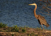 Wildlife Sunset Posters - Great Blue Heron in the Evening Light Poster by Sabrina L Ryan