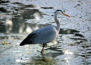 Heron Photos - Great Blue Heron in the Pond  by Carol Groenen