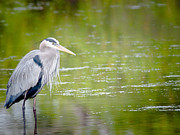 Birding Photos - Great Blue Heron by Jim DeLillo