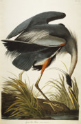 Blue Drawings Framed Prints - Great Blue Heron Framed Print by John James Audubon