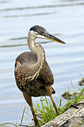 John Van Decker - Great Blue Heron