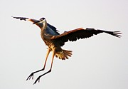 Great Blue Heron Landing Print by Paulette  Thomas