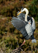 Vero Posters - Great Blue Heron Landing Poster by Sabrina L Ryan