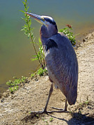 Wade Fishing Prints - Great Blue Heron Print by Mariola Bitner