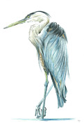 Blue Heron Drawings Prints - Great Blue Heron Print by Marv Zaro