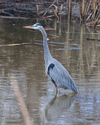 Ardea Herodias Posters - Great Blue Heron Merced County CA Poster by Troy Montemayor
