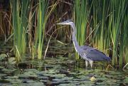 Great Birds Posters - Great Blue Heron Poster by Natural Selection David Spier