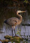 Wary Prints - Great Blue Heron Print by Natural Selection Ralph Curtin