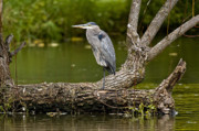 Wildlife Mixed Media Originals - Great Blue Heron on Log by Michael Cummings
