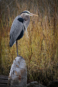 Tropical Bird Print Posters - Great Blue Heron on Spool Poster by Debra and Dave Vanderlaan