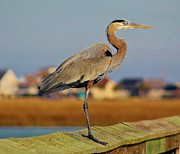 Great Blue Heron On The Marsh Print by Paulette  Thomas