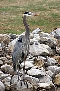 Gbh Posters - Great Blue Heron on the Rocks Poster by Robert  Suits Jr