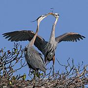 Great Blue Heron Posters - Great Blue Heron Pair Poster by Larry Linton