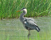 Water In Cave Framed Prints - Great Blue Heron Framed Print by Paul Ward