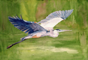 Flying Painting Framed Prints - Great Blue Heron Framed Print by Pauline Ross