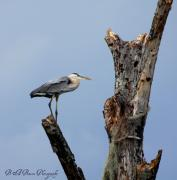 Country Scenes Photo Originals - Great Blue Heron Perched by Barbara Bowen