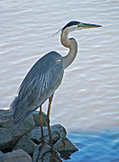 Shore Bird Framed Prints - Great Blue Heron Portrait Framed Print by Suzanne Gaff