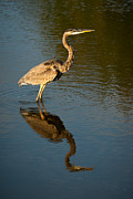 Wade Fishing Photos - Great Blue Heron Reflection by  Onyonet Photo Studios