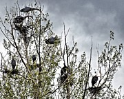 Great Blue Heron Black And White Posters - Great Blue Heron Rookery-1 Poster by Don Mann