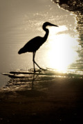Sun Studios Prints - Great Blue Heron Silhouette Print by  Onyonet  Photo Studios