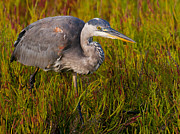 Gray And Black Beak Framed Prints - Great Blue Heron Stalking. Framed Print by Eric Stogner