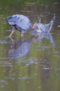 Wade Fishing Photos - Great Blue Heron striking at prey in a pond by Ed Book