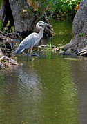 Great Blue Heron Photos - Great Blue Heron by Suzanne Gaff