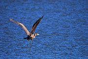 Texas Wildlife Print Art - Great Blue Heron Takeoff 2 by Roy Williams