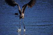 Texas Wildlife Print Art - Great Blue Heron Takeoff by Roy Williams