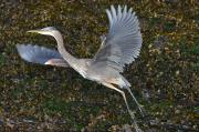 North Vancouver Posters - Great Blue Heron Takes Flight Poster by Paul Nicklen