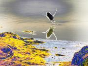 Seacoast Digital Art Prints - Great Blue Heron taking off at Casco Bay Print by Perry Conley