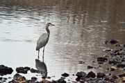Arkansas Framed Prints - Great Blue Heron Wading 2 Framed Print by Douglas Barnett